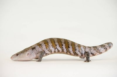 Picture of an Eastern blue-tongued skink (Tiliqua scincoides scincoides) at the Lincoln Children's Zoo.