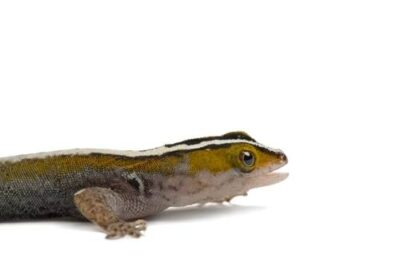 A white-striped gecko (Gonatodes vittatus) from a private collection.