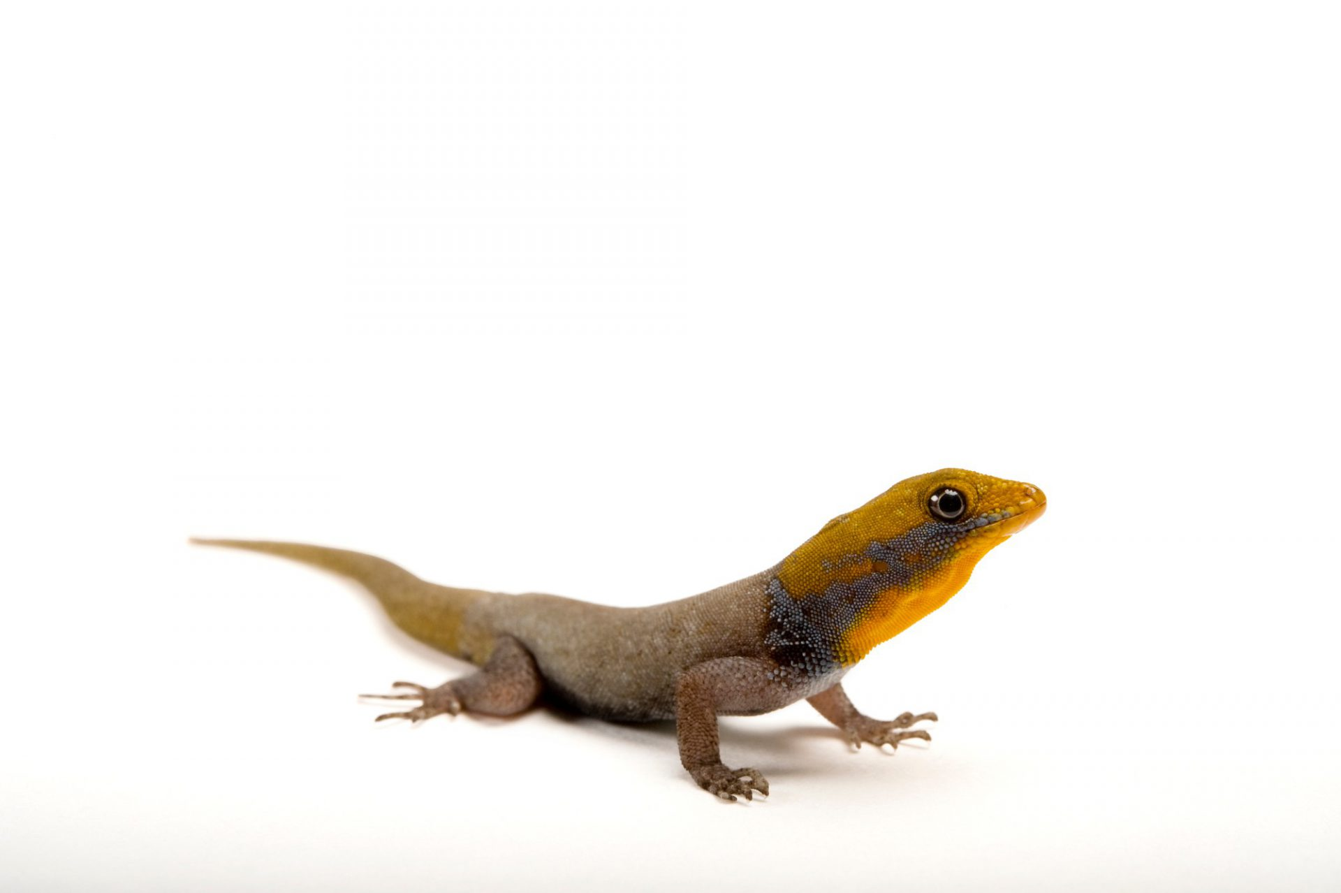 A yellow-headed gecko (Gonatodes albogularis) from a private collection.