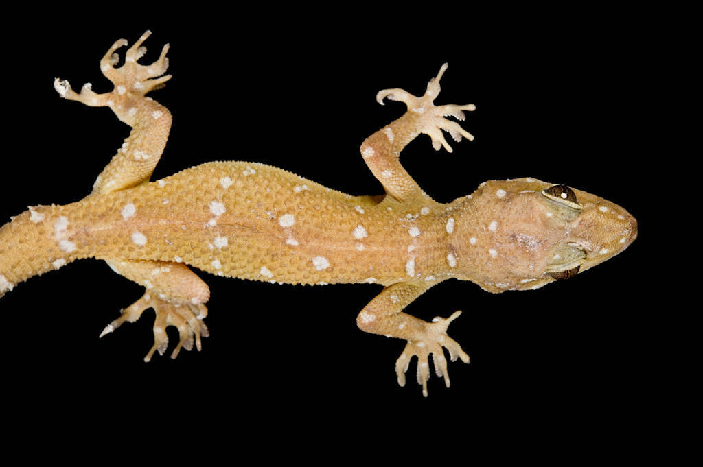 spotted leaf-toed gecko (Hemidactylus prashadi) from a private collection.