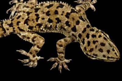 A banded leaf-toed gecko (Hemidactylus maculatus) from a private collection.