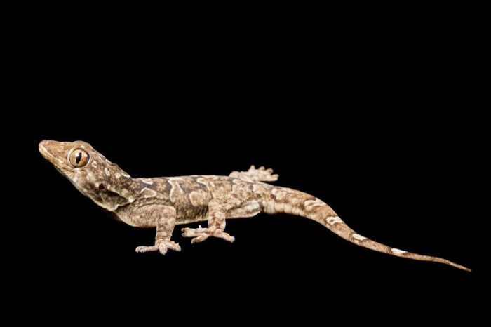 A giant leaf-toed gecko (Hemidactylus giganteus) from a private collection.
