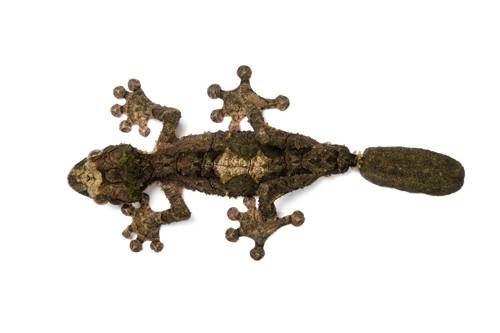 Photo: A cork bark leaf-tailed gecko (Uroplatus pietschmanni) from a private collection.