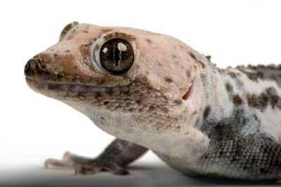 Photo: A Tokay gecko (Gekko gecko) from a private collection.