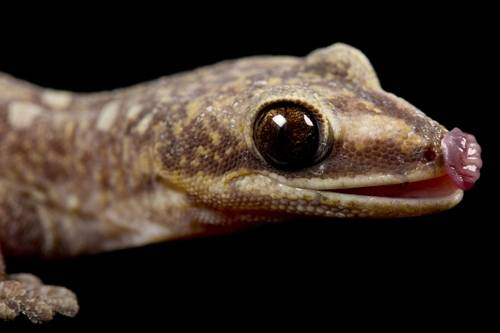 Photo: A pregnant, female Australian velvet gecko (Oedura monilis) from a private collection.