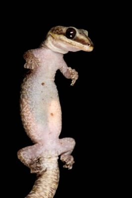 Photo: A pregnant, female Australian velvet gecko (Oedura monilis) from a private collection.