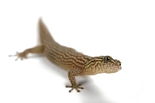 An ashy gecko (Sphaerodactylus elegans) from a private collection.