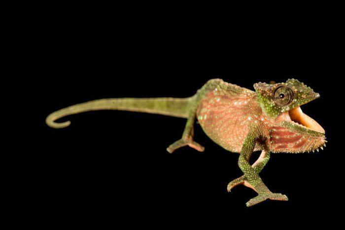 A Fea's chameleon (Chamaeleo feae) from Bioko Island, Equatorial Guinea.