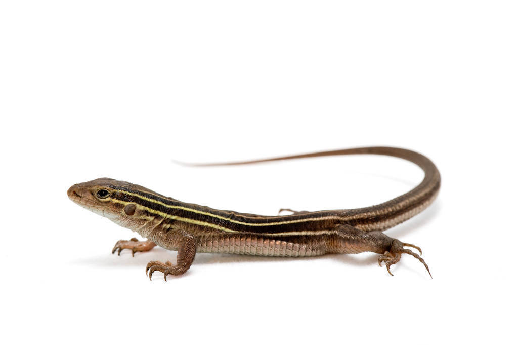 A studio portrait of a six-lined racerunner (Cnemidophorus sexlineata) from the Ozarks of southern Missouri.