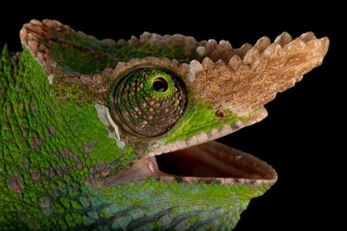 A West Usambara two-horned chameleon (Kinyongia multituberculata) at the Houston Zoo.