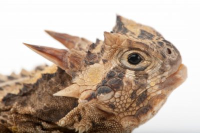 Texas horned toad (aka Texas horned lizard) (Phrynosoma cornutum) at the Fort Worth Zoo. This animal is in serious decline and has even been wiped out now in the Fort Worth area. This zoo has a captive breeding program for it.