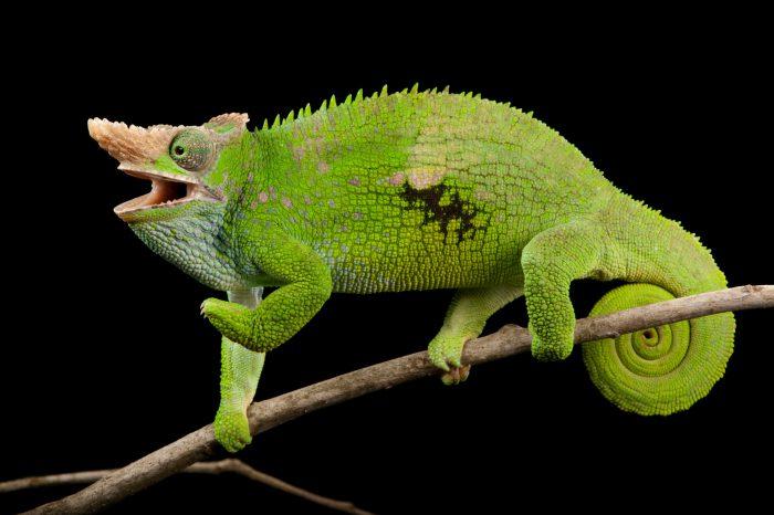 West Usambara two-horned chameleon (Kinyongia multituberculata) at the Houston Zoo.