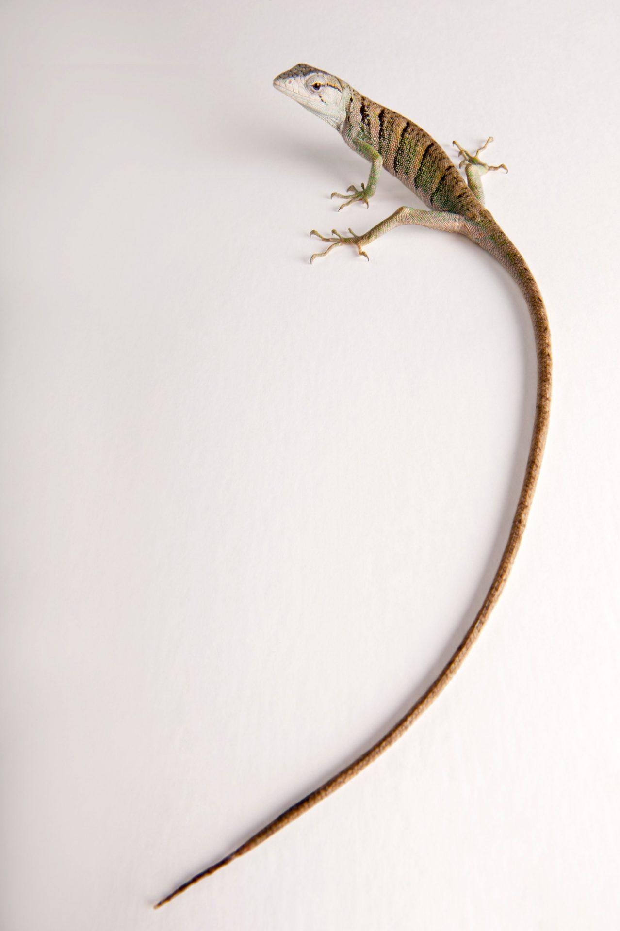 Photo: A common Monkey Lizard (Polychrus marmoratus) at the National Aquarium, Baltimore.