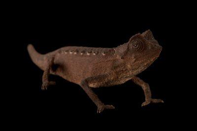 Endangered plated leaf pygmy chameleon (Brookesia minima) at the Omaha Zoo.
