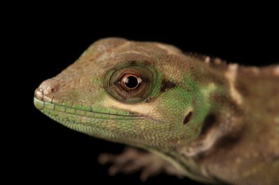 Picture of a Grenada tree anole (Anolis ricordi) at the Omaha Zoo.