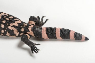 Photo: Banded gila monster (Heloderma suspectum cinctum) at the Woodland Park Zoo.