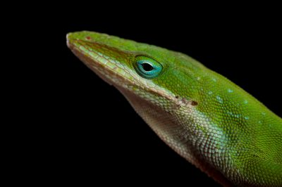 A green anole (Anolis carolinensis) from Cape Canaveral Florida.