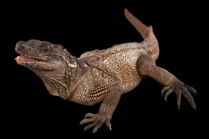 Picture of a Malayan sail-finned lizard (Hydrosaurus amboinensis) at the Houston Zoo.