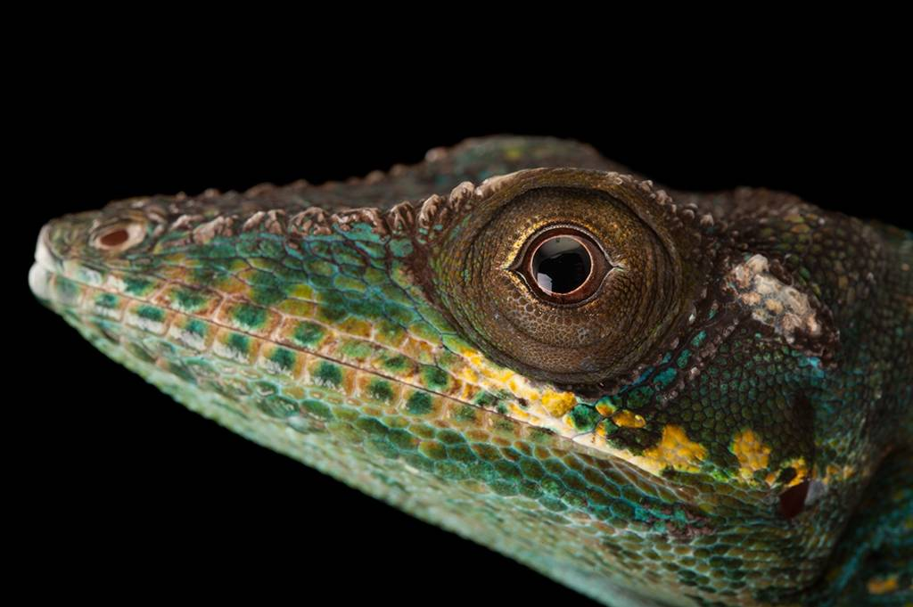 Picture of a Baracoa knight anole (Anolis baracoae) from a private collection.