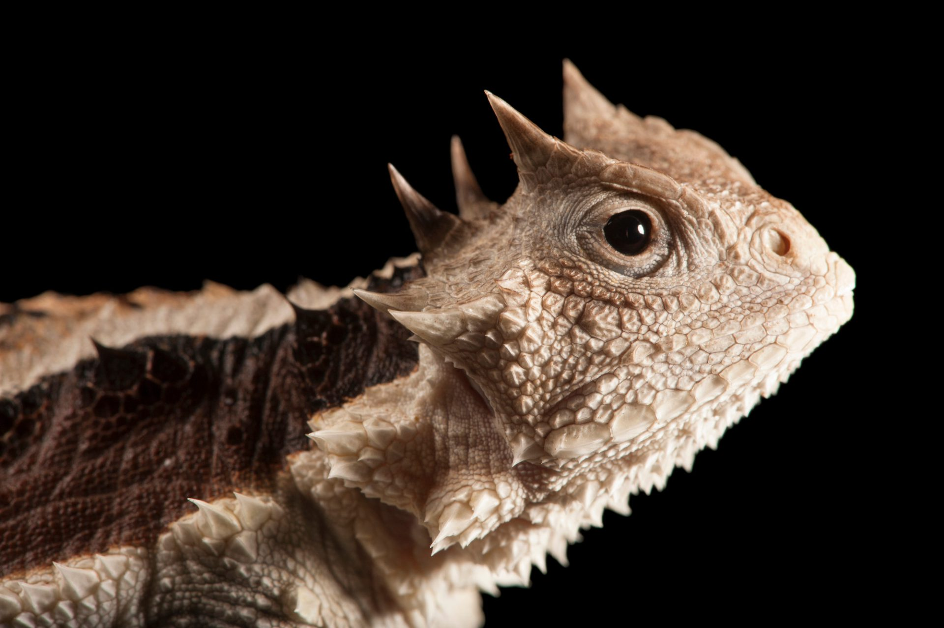 A giant horned lizard (Phrynosoma asio) at the LA Zoo.