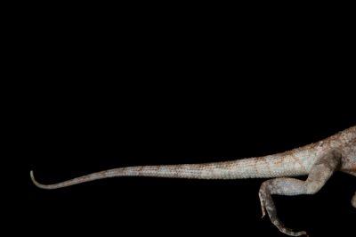 A frill-necked lizard (Chlamydosaurus kingii) at the Lincoln Children's Zoo.