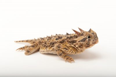 A Texas horned lizard (Phrynosoma cornutum) at the Fort Worth Zoo.