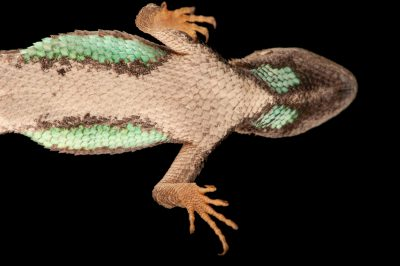 A Florida scrub lizard (Sceloporus woodi) from Cape Canaveral Florida.