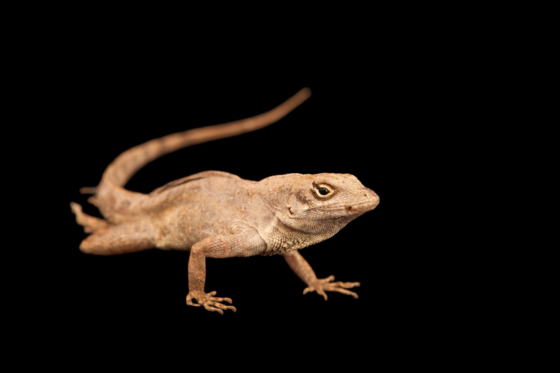 A brown anole (Anolis sagrei) from Cape Canaveral Florida.