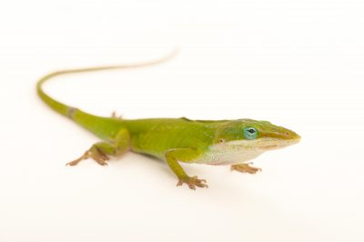 A carolina anole (Anolis carolinensis) from Cape Canaveral Florida.