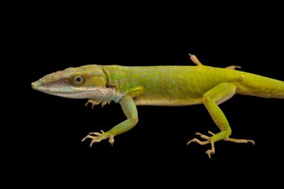 Picture of an Allison's anole (Anolis allisoni) at the Cheyenne Mountain Zoo in Colorado Springs, CO.