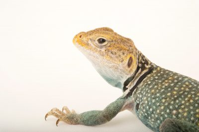 Picture of a collared lizard (Crotaphytus collaris) at the Cheyenne Mountain Zoo in Colorado Springs, CO.