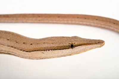 Picture of a Burton's legless lizard (Lialis burtonis) at the Cheyenne Mountain Zoo in Colorado Springs, CO.
