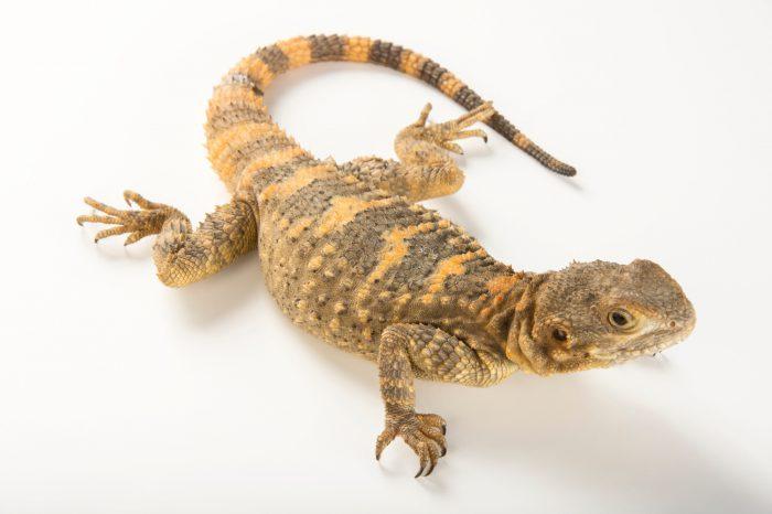 A starred agama (Laudakia stellio brachydactyla) at the Indianapolis Zoo.