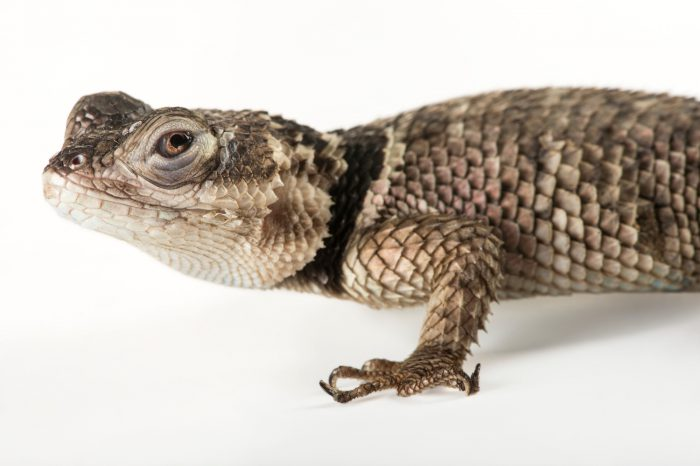 Picture of a blue spiny lizard (Sceloporus serrifer cyanogenys) at the Indianapolis Zoo.