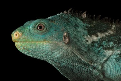 Photo: A critically endangered Fiji crested iguana (Brachylophus vitiensis) at the Taronga Zoo in Sydney, Australia.