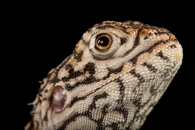 Picture of a central netted dragon (Ctenophorus nuchalis) at Wild Life Sydney Zoo.