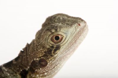 Picture of an Eastern water dragon (Physignathus lesueurii lesueurii) at Wild Life Sydney Zoo.