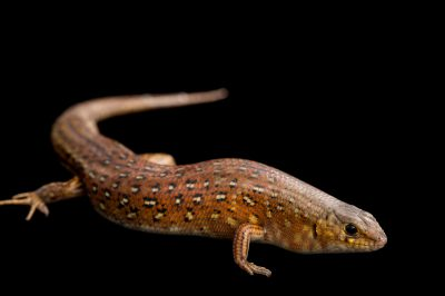 Picture of a leopard skink also known as a panther skink (Ctenotus pantherinus) at Wild Life Sydney Zoo.