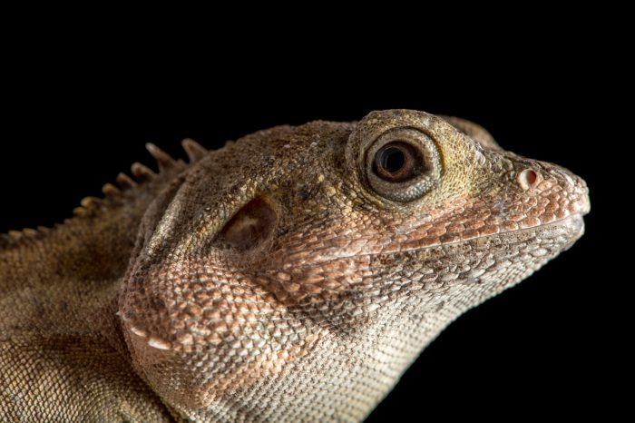 Picture of a Northern latchtail also known as a Northern water dragon (Lophognathus temporalis) at Wild Life Sydney Zoo.