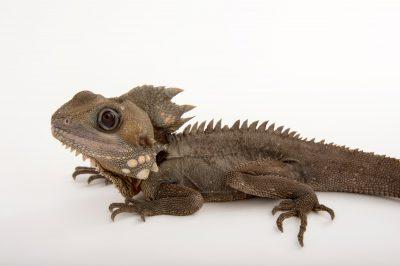 Picture of a Boyd's forest dragon (Hypsilurus boydii) at Wild Life Sydney Zoo.