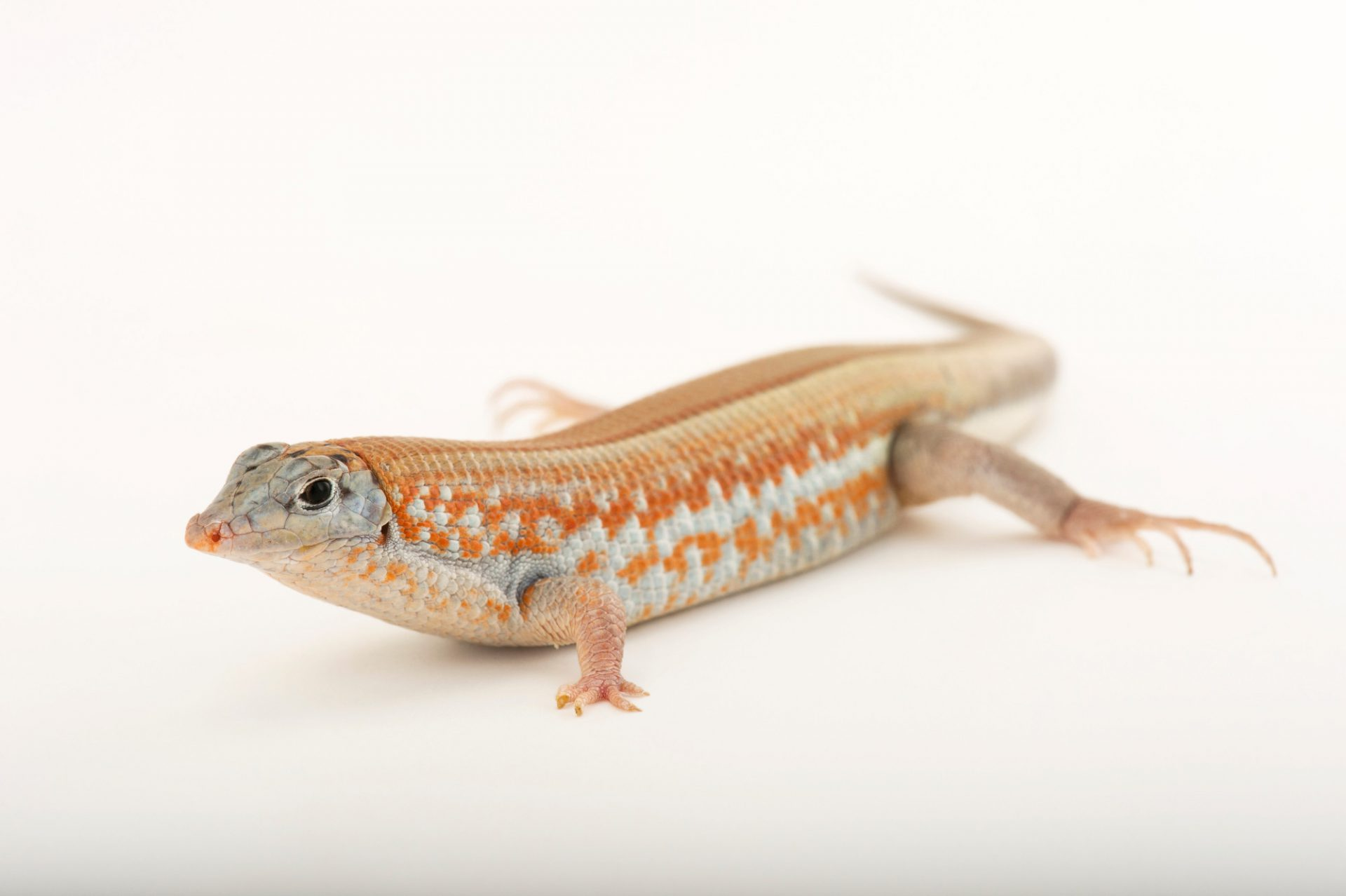 Photo: A Peter's keeled plated lizard (Tracheloptychus petersi) named Miles, from a private collection.