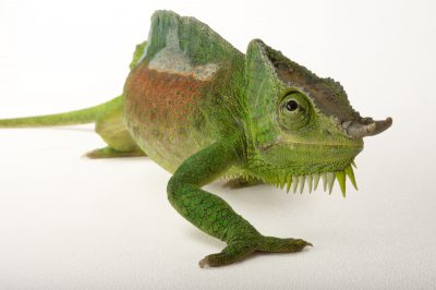 Photo: A four-horned chameleon (Chamaeleo quadricornis) at the Fort Worth Zoo.