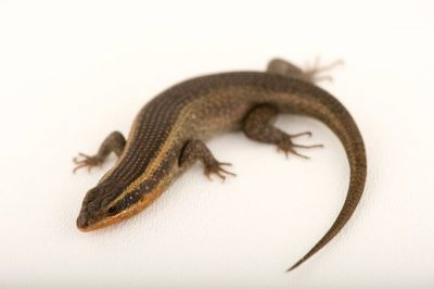 Photo: A skink at the Houston Zoo.