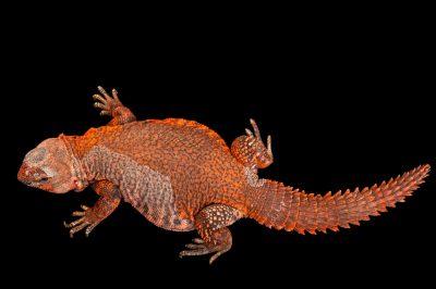 A Sahara spiny-tailed lizard (Uromastyx geyri) at Rolling Hills Wildlife Adventure near Salina, Kansas.