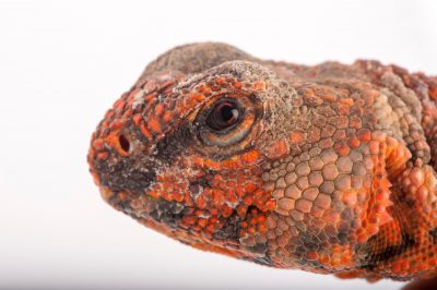 A Sahara spiny-tailed lizard (Uromastyx geyri) at Rolling Hills Wildlife Adventure near Salina, Kansas.