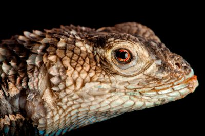A crevice spiny lizard (Sceloporus poinsetti) at Rolling Hills Wildlife Adventure near Salina, Kansas.