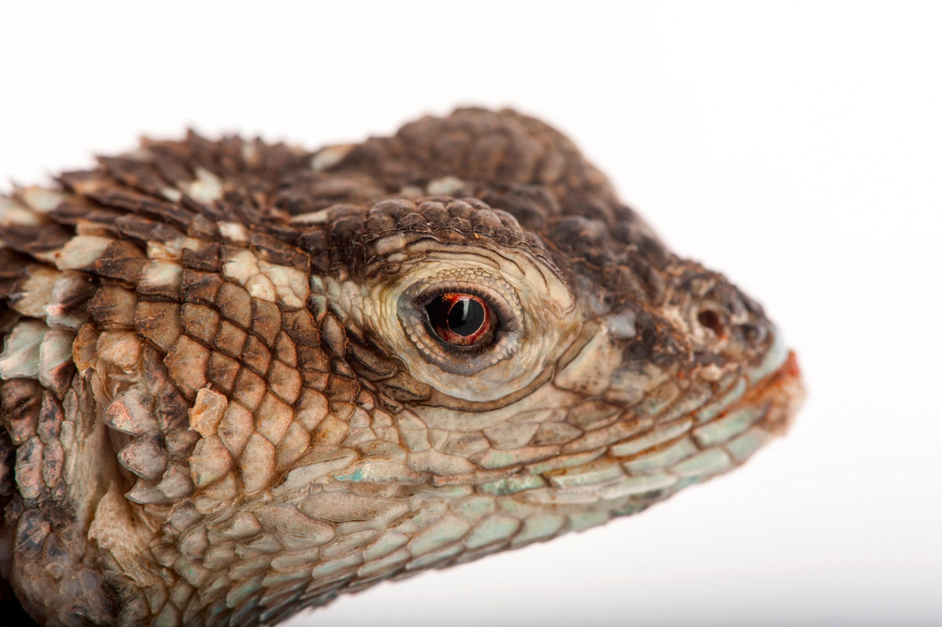 A crevice spiny lizard (Sceloporus poinsetti) at Rolling Hills Wildlife Adventure near Salina, Kansas.