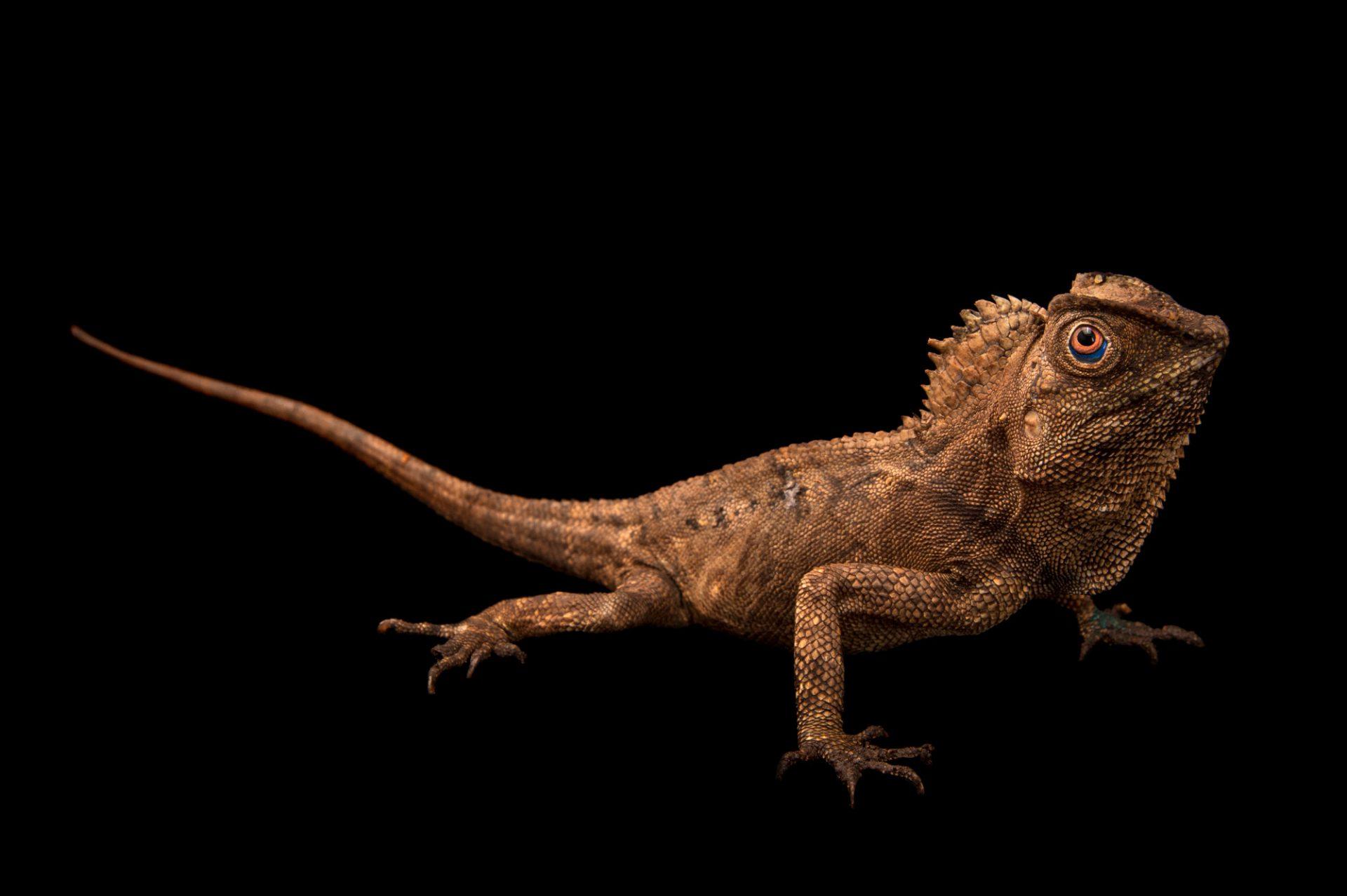 A javan hump-headed lizard or chameleon forest dragon (Gonocephalus chamaeleontinus) at Rolling Hills Wildlife Adventure near Salina, Kansas.