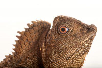 Photo: A javan hump-headed lizard or chameleon forest dragon (Gonocephelus chamaeleontinus) at Rolling Hills Wildlife Adventure near Salina, Kansas.