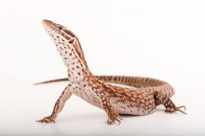 A spiny-tailed monitor lizard (Varanus acanthurus acanthurus) from the Gladys Porter Zoo in Brownsville, Texas.